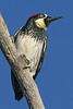 Acorn Woodpecker:  Near Murrieta, CA  (September, 2009)
