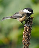 Black-capped Chickadee: Ridgefield NWR, WA (September, 2010)