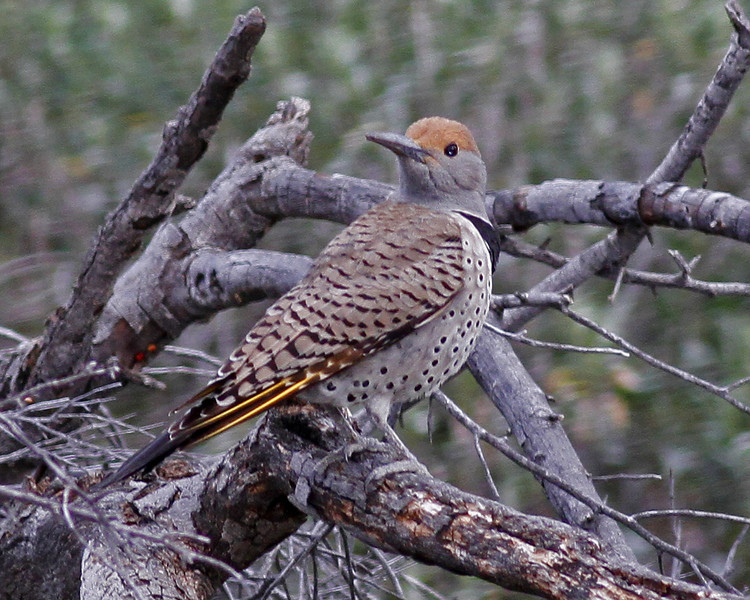 Gilded Flicker: Mountain Park near Tucson,  AZ (February, 2012)