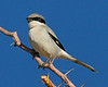 Loggerhead Shrike: Salton Sea, CA (January, 2011)