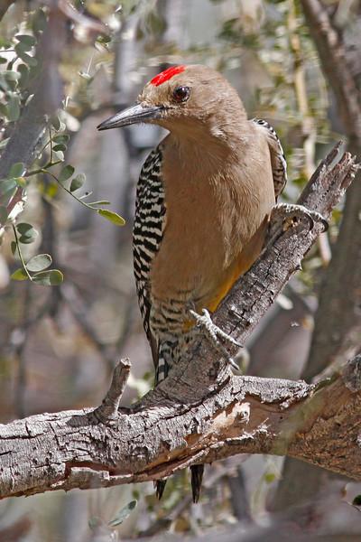 Gila Woodpecker: Santa Cruz Flats near Tucson, AZ (February, 2011)