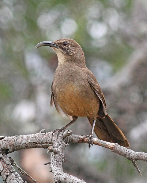 California Thrasher: Murrieta, CA (May 2009)