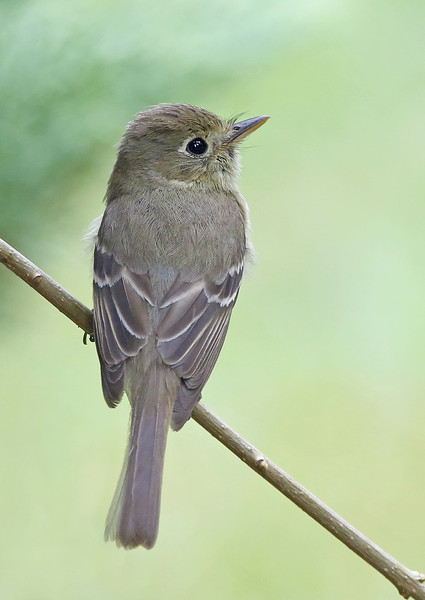 Pacific-slope Flycatcher: Brush Prairie, WA (July 8, 2014)