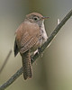 House Wren: Ridgefield National Wildlife Refuge (April 2009)
