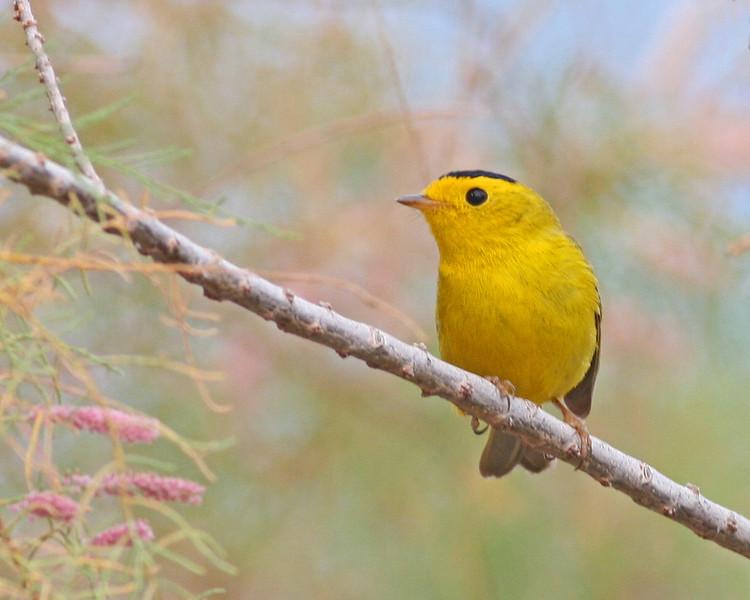 Wilson's Warbler: Patagonia, AZ