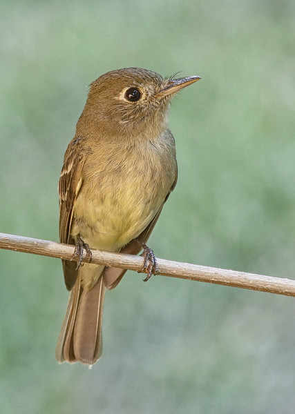 Pacific-slope Flycatcher: She had built a nest behind our porch light in Brush Prairie, WA (July 7, 2014)