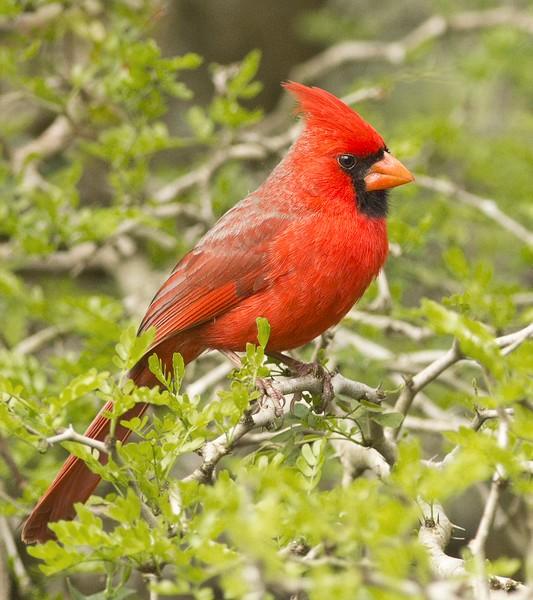 Northern Cardinal: Laguna Atascosa NWR near Los Fresnos, Texas (3-20-15)