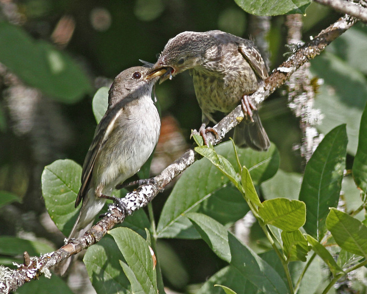 "Willow Flycatcher feeding an ""adopted baby"" Cowbird who is bigger than the ""mom."" Ridgefield NWR, WA (August, 2011)"
