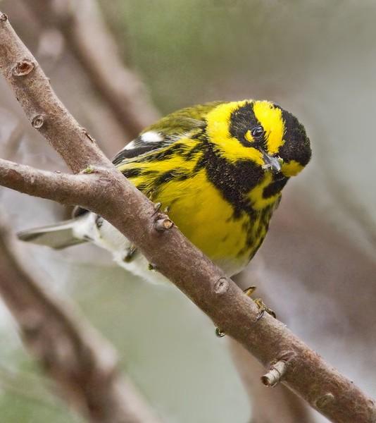 Townsend's Warbler: Fort Huachuca near Sierra Vista, AZ (3-4-15)