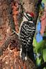 Nuttall's Woodpecker: Chino Hills, CA (9-08)