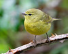Orange-crowned Warbler: Ridgefield NWR, WA (April, 2011)