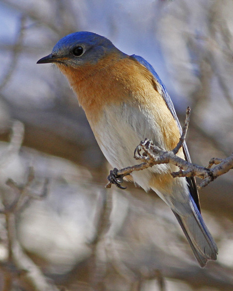 Eastern Bluebird taken at the Sonoita Creek Preserve in Patagonia, AZ (February, 2013)