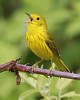 Yellow Warbler; Ridgefield NWR (May, 2013)