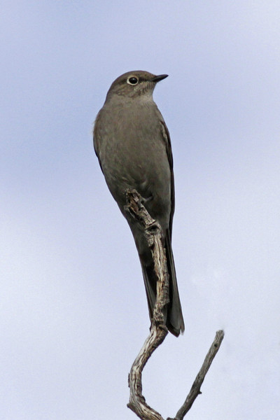 Townsend's Solitaire: Florida Canyon, AZ  (February 2012)
