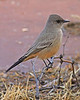 Say's Phoebe: Tumacacori, AZ (January, 2009)