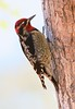 Red-naped Sapsucker: Sweetwater Wetlands near Tucson, AZ (1-5-15)