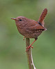Winter Wren: Photo taken at Ridgefield NWR, WA
