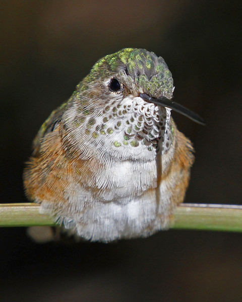 Broad-tailed Hummingbird; Desert Museum, Tucson, AZ (March, 2013)