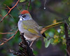 Green-tailed Towhee : Madera Canyon, AZ (January,2009)