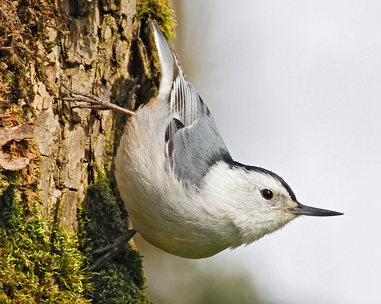 White-breasted Nuthatch at Ridgefield NWR, WA  (April 2011)