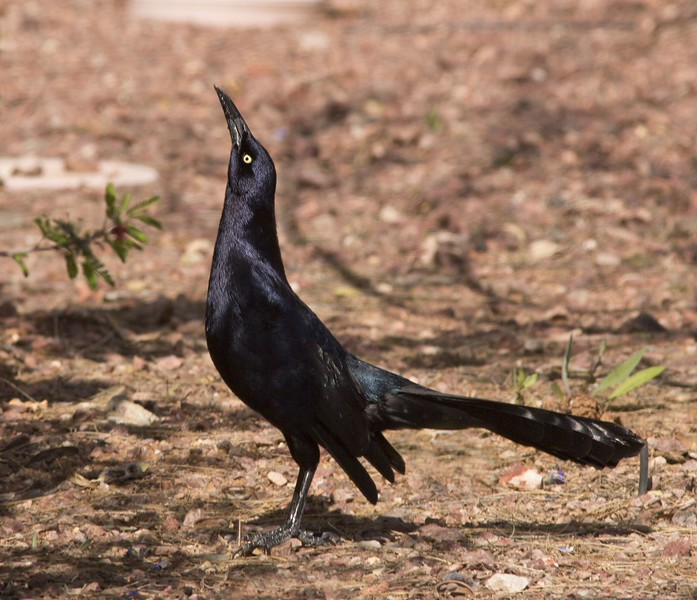 Great-tailed Grackle: Red Rock, AZ (2-23-15)