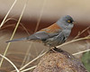 Yellow-eyed Junco: Madera Canyon, AZ (January, 2010)