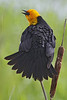 Yellow-headed Blackbird: Ridgefield NWR, WA (May, 2012)