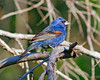 Blue Grosbeak: Prescott, AZ  (9-08)