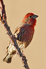 House Finch: Green Valley, AZ (February, 2011)