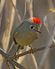 Ruby-crowned Kinglet:  Ridgefield NWR, WA
