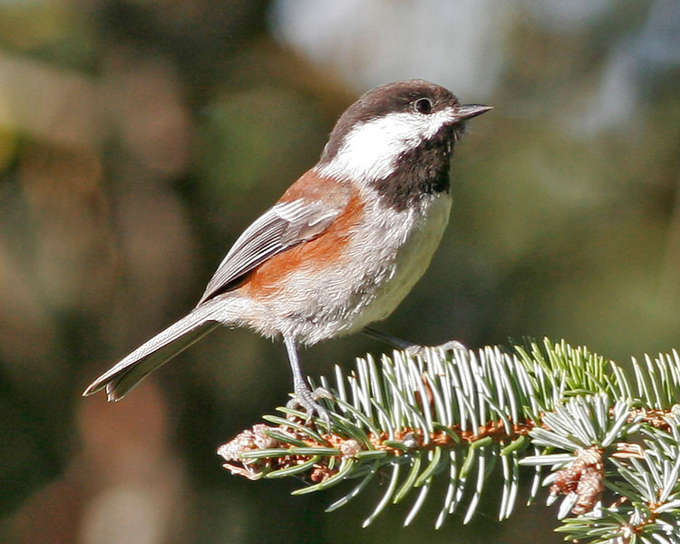 Chestnut-backed Chickadee.  Picture taken at Lincoln City, OR