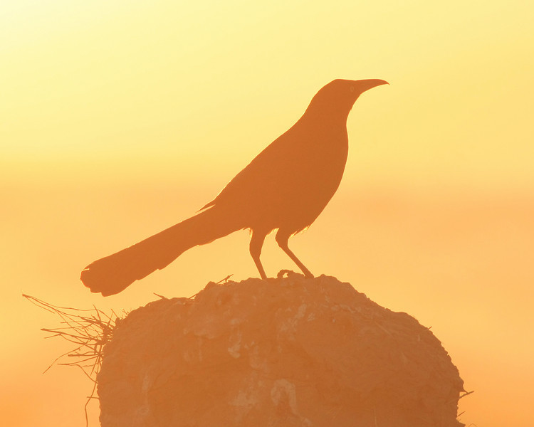 Great-tailed Grackle.  Taken at the Salton Sea NWR, CA