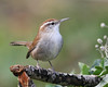 Bewick's Wren: Ridgefield National Wildlife Refuge, WA (October, 2009)