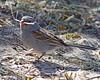Black-chinned Sparrow: Sabino Canyon, AZ (February, 2011)
