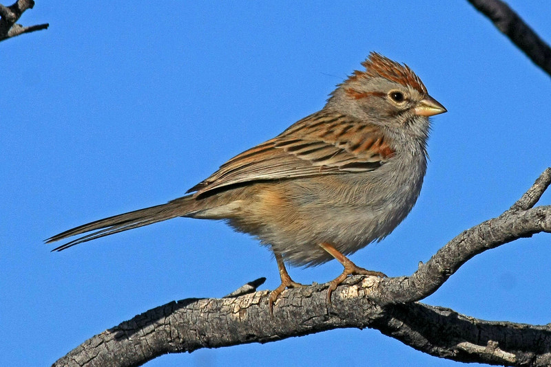 Rufous-winged Sparrow: Green Valley, AZ (January,2009)