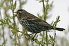 Redwing Blackbird (Immature); Ridgefield National Wildlife Refuge (April 2009)