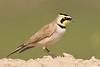 Horned lark: Santa Clara Flats near Elroy, AZ (2-9-15)