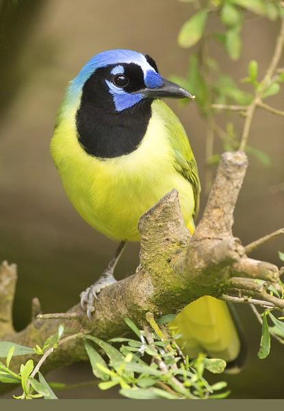 Green Jay: Laguna Atascosa NWR near Los Fresnos, Texas (3-20-15)