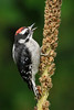 Downy Woodpecker: Ridgefield NWR, WA (September, 2010)