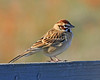 Lark Sparrow: Murrieta, CA (December 08)