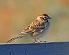 Lark Sparrow: Murrieta, CA (December 08)