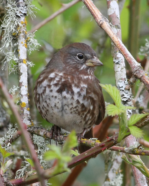 Fox Sparrow: Photo taken at Ridgefield NWR, WA