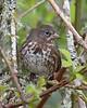 Fox Sparrow: Photo taken at Ridgefield NWR, WA