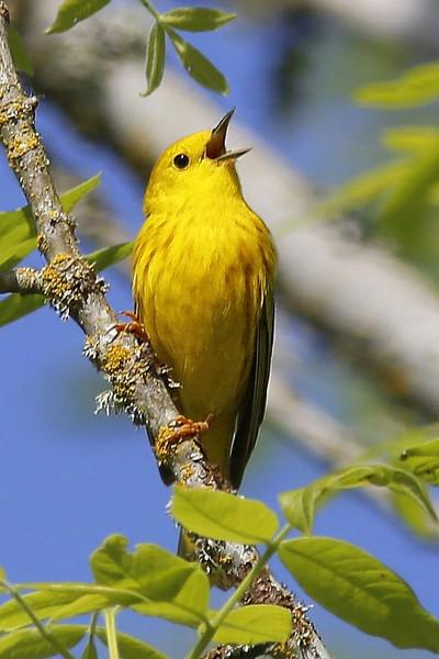Yellow Warbler: Ridgefield NWR, WA (5-13-14)