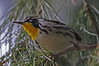 Yellow-throated Warbler: Sweetwater Wetlands near Tucson, AZ (February, 2013)