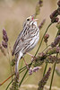 Savannah Sparrow: Ridgefield NWR (6-11-13)