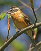 Black-headed Grosbeak (Female): Brush Prairie, WA