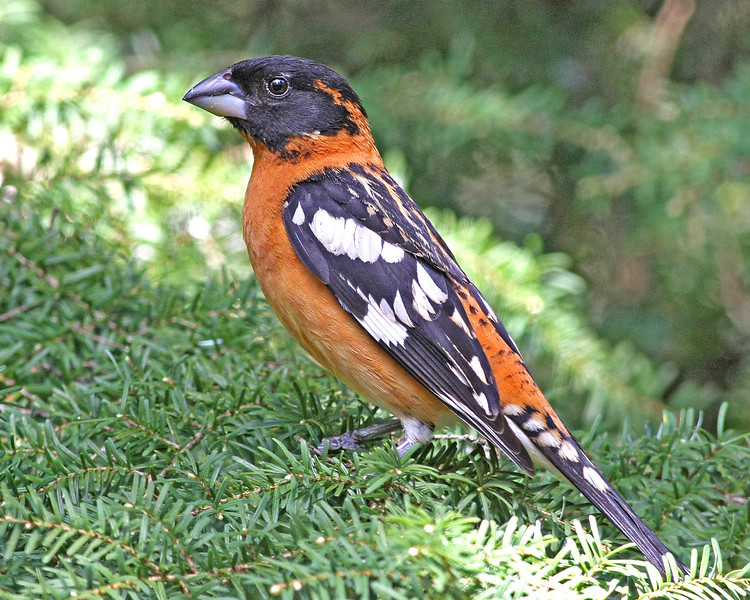 Black-headed Grosbeak: Brush Prairie, WA