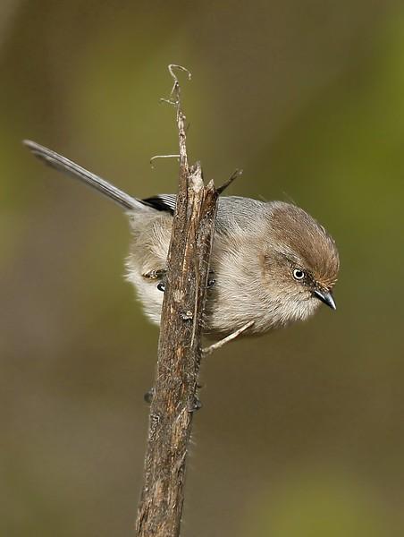 Bushtit (Female): Ridgefield NWR, WA (4-1-15)