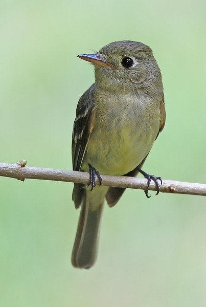 Pacific-slope Flycatcher: Near the nest she had built behind our porch light in Brush Prairie, WA (July 6, 2014)